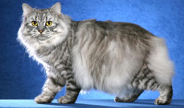 Cymric Cat Breed Information