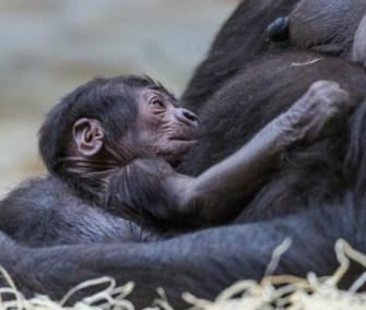 Shinda surprised her keepers when she gave birth to her first baby on Sunday.