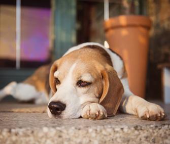 Sick Beagle