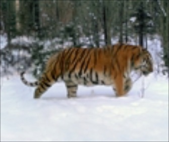 A male Amur tiger leads his family in a rare family photo.
