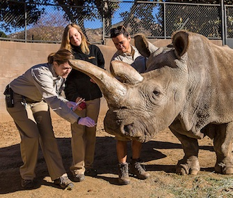 Associate veterinarian Meredith Clancy takes a nasal swab from northern white rhino Nola at the San Diego Zoo Safari Park.