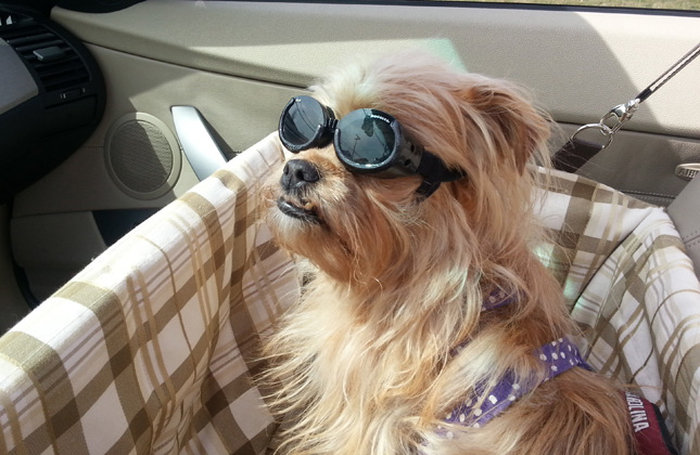 Sophie wears Doggles in the car.