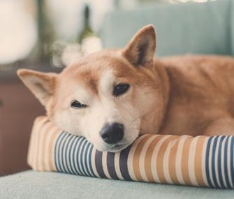 Shiba Inu in dog bed
