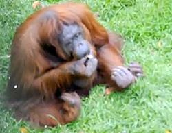 Smoking Orangutan