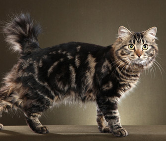 American Bobtail Cat Images