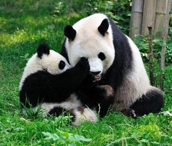 Pandas at Chengdu Panda Breeding Center