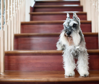 Miniature Schnauzer standing on stairs