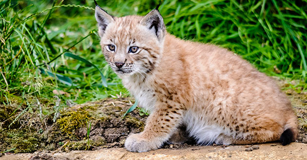 Lynx kitten at the Whipsnade Zoo