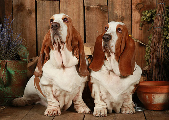 Find Pictures Of Basseet And Black Lab Dogs