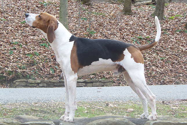 Treeing Walker Coonhound National Dog Show