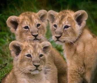 Three female lion cubs made their debt at the Cotswold Wildlife Park this week.