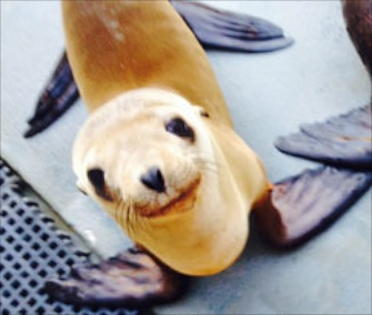 Hoppie is recovering from his inland adventure at The Marine Mammal Center in California.