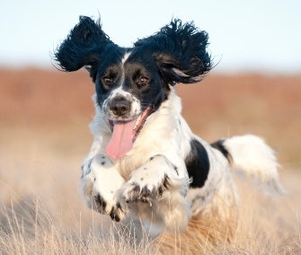 Joyful running dog