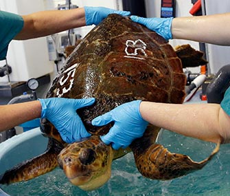 Volunteers lift a 55-pound loggerhead turtle from its pool for medical attention at the New England Aquarium's Animal Care Center.