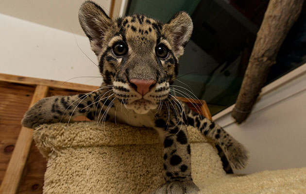 baby clouded leopard