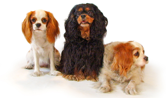 Kim Campbell Thornton's Cavalier King Charles Spaniels