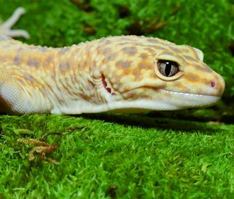 Get to Know the Leopard Gecko