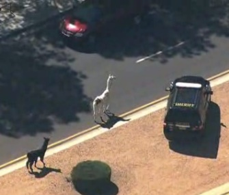 Two llamas who escaped in Arizona Thursday led police on a nearly 3-hour chase.