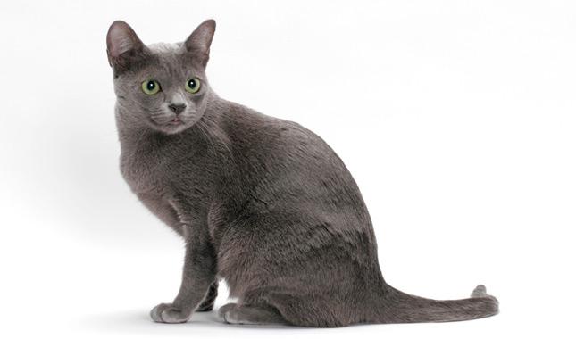 U Sabai Korat Korat Cat Breed...