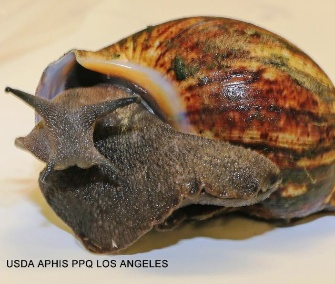 A shipment of 67 giant African land snails were seized at the Los Angeles International Airport.