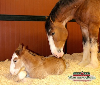 A Clydesdale born at Budweiser's Warm Springs Ranch on Super Bowl Sunday was named Arizona.