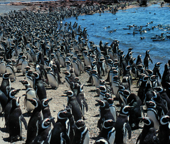 hundreds of penguins on a beach