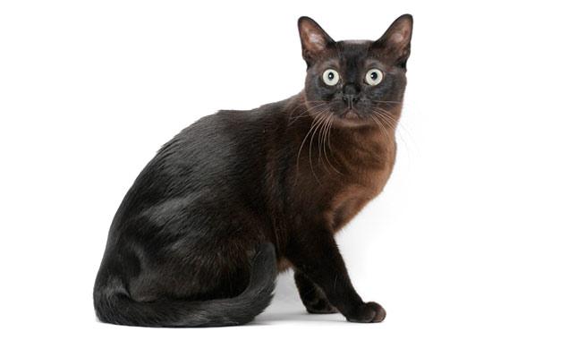 Black burmese cat characteristics