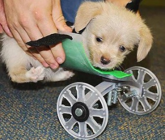 Tumbles the puppy is getting around with the help of his new 3-D printed wheelchair.