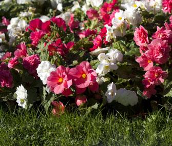 Begonias in Garden
