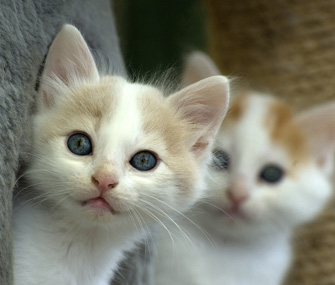 Blue-eyed kittens