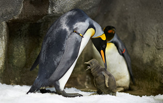 A same-sex pair of King penguins is raising a chick of their own.