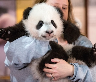 Armload of cuteness: National Zoo keeper Nicole MacCorkle carries Bei Bei to meet the media.