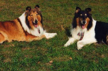 Collies at the annual Sunnybank gathering