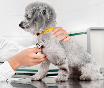 Dog being examined by vet with stethoscope