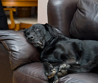 Labrador Sleeping
