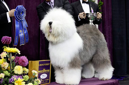 Swagger, an Old English Sheep Dog