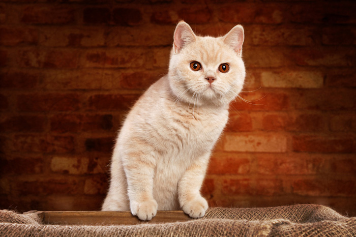 British shorthair kitten care
