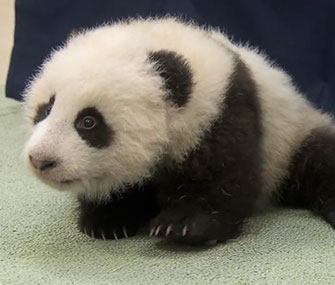 The San Diego Zoo named its panda cub Xiao Liwu, which means little gift.