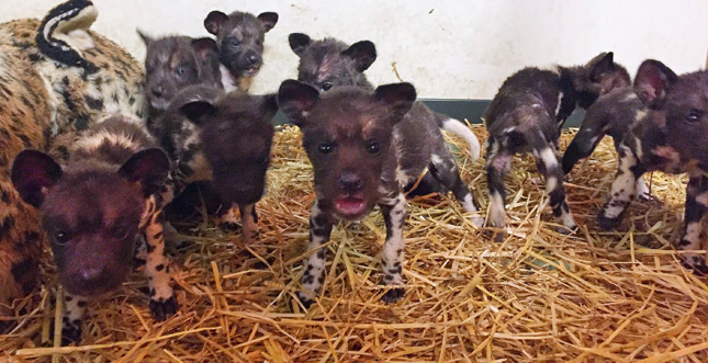 Painted dog pups get cheesy names