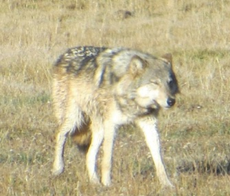 Officials fear that a wolf who was mistakenly shot by a hunter in Utah may have been the same one who'd been spotted in the Grand Canyon.