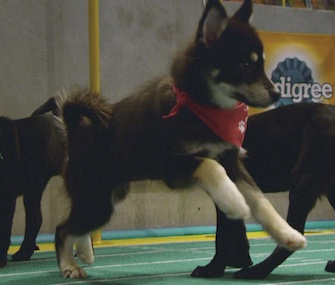 Alexander Hamilpup was one of the stars of Sunday's Puppy Bowl XIII.