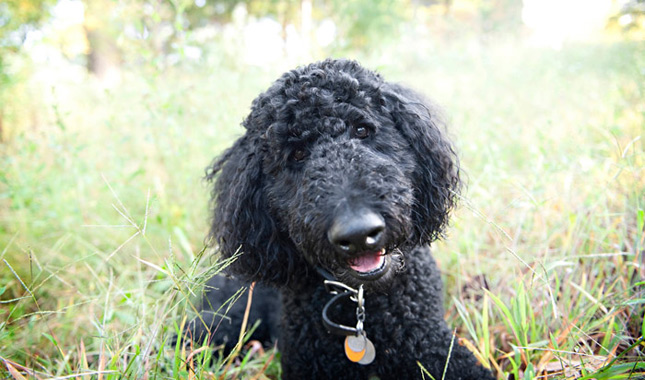 Poodle Weight Poodle Breed Informati...