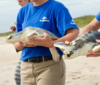 Sea turtles return to ocean