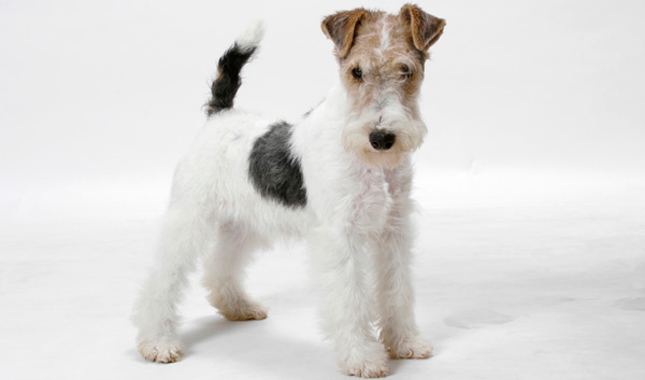 Smooth and Wire Fox Terrier Breed Information