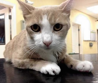 Buttercup the cat is recovering well after an emergency transfusion using dog blood.