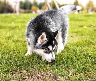Puppy sniffing grass