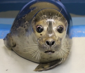 Bryce, a blind baby harbor seal, is being cared for by the Alaska SeaLife Center.