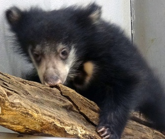 The National Zoo is asking the public to help name its sloth bear cub.