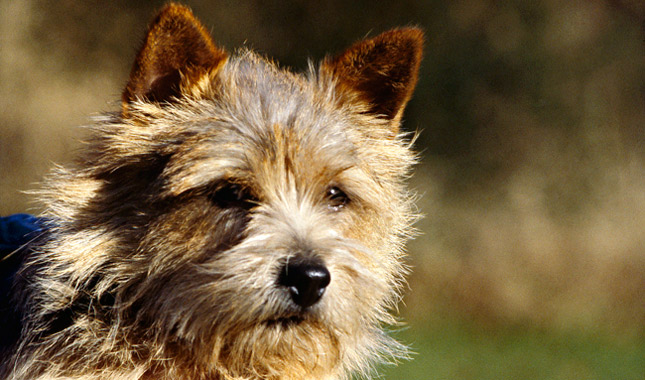 Norwich Terrier Dog Breed Information