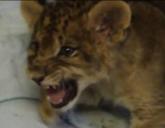 Lion Cub Roaring